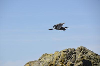 Ardeidae -  Ardea herodias - Great Blue Heron