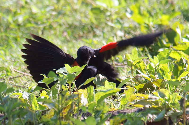 Red-winged Blackbird Death Match 5