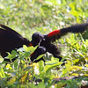 Red-winged Blackbird Death Match 5