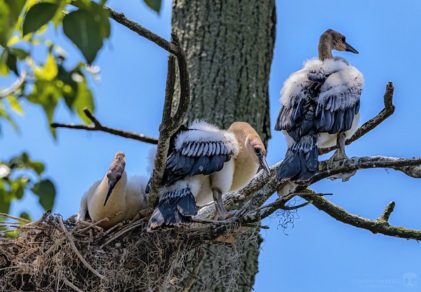 Nest with immature anhingas