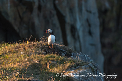 Puffin in his domain (1)