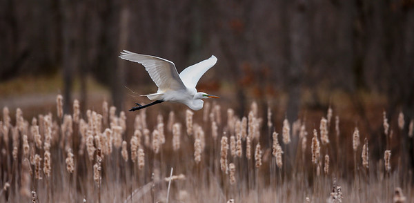 Egret In Flight II