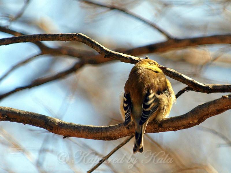 American Goldfinch Enjoying the Sun's Warmth
