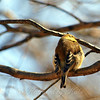 American Goldfinch Enjoying the Sun's Warmth