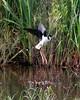 Black-necked Stilt (Himantopus mexicanus). Near Shoveler Pond, Anahuac National Wildlife Refuge, Texas