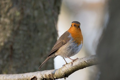 Obligatory Robin at Bowdown Woods