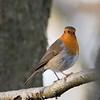 Obligatory Robin at Bowdown Woods
