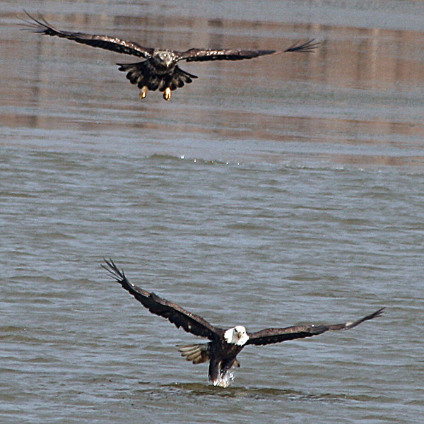 TWO AMERICAN BALD EAGLES IN FLIGHT.