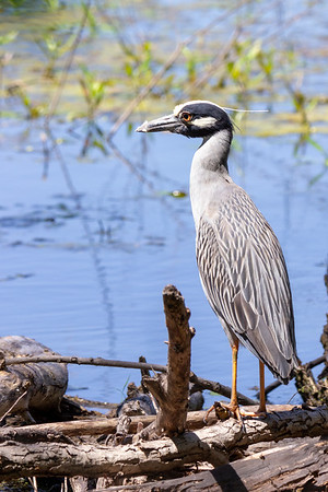 Yellow-crowned Night Heron at Village Creek Drying Beds