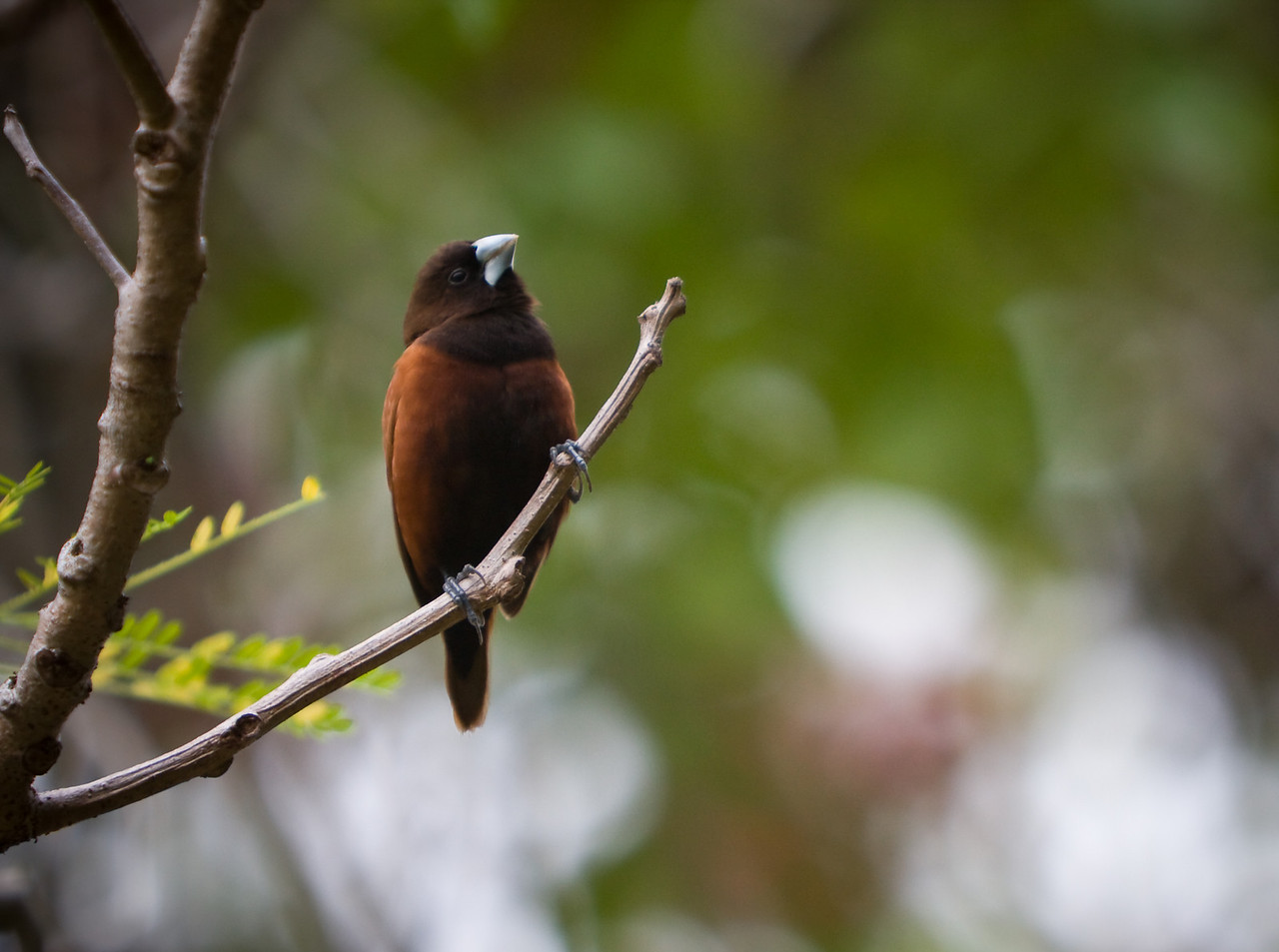 Black-Headed Munia (Lonchura atricapilla).