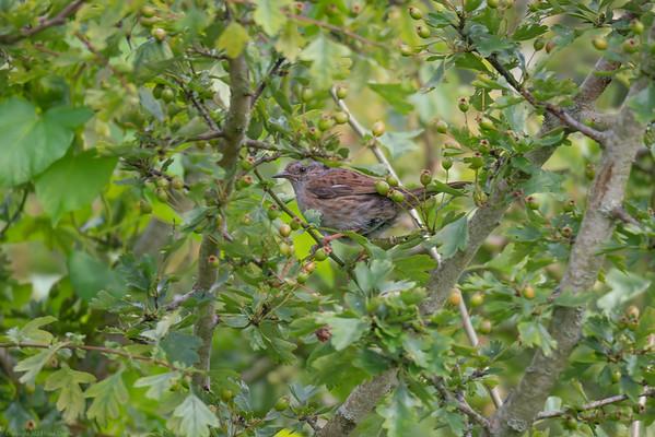 A Dunnock in Hawthorn at Speen Moor 16x9-2 - Newbury