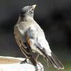 Bizarre American Robin With Aberrant Leucistic feathers View 4