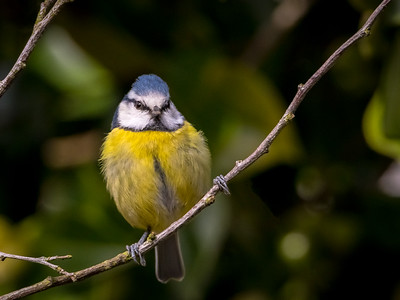 The Stare! - Eurasian Blue Tit, Northwood, UK