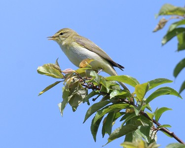Willow Warbler at Greenham - idendified by song -2