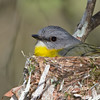 Eastern Yellow Robin (Eopsaltria australis) on nest