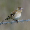 Older Female Chaffinch on Freemans Marsh Hungerford