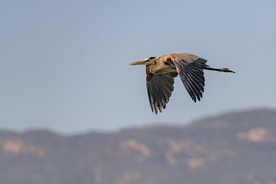Great Blue Heron in Flight 4