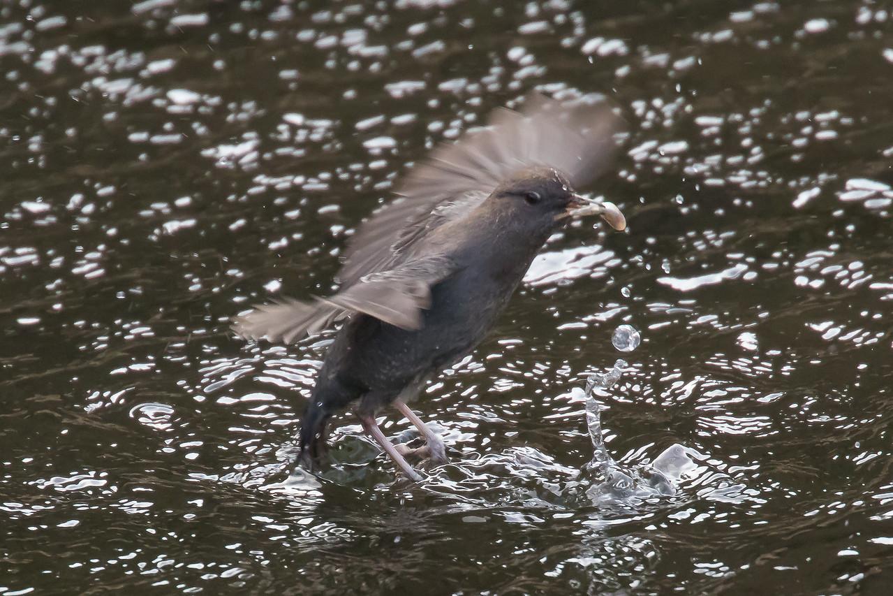 IMAGE: https://photos.smugmug.com/Birds/i-JM8MZfb/0/f426050c/X2/122A7700-X2.jpg
