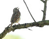 Song Sparrow singing his morning song.  Eaton Rapids, Michigan.  June, 2013 Nikon D800e, 300mm f4 w/TC-14eII, DX mode