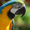 Blue and Gold Macau Parrot Picture