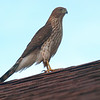 Cooper's Hawk On My Neighbors Roof