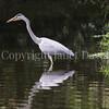 Ardea cinerea-Grey heron