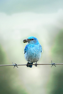 Female Western Mountain Bluebird with Grub