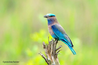 Roller perched
