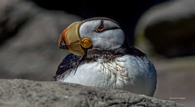Marshmallow Puffin