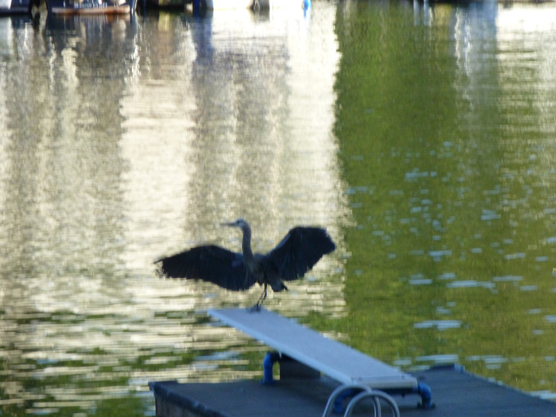 Blue Heron, Lake Oswego