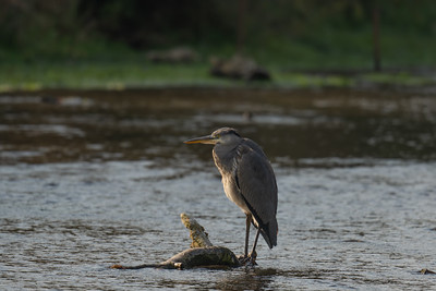 Grey Heron - River Dunn - Hungerford 19th October 2020  3