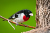 Redbreasted Grosbeak, Pheucticus ludovicianus