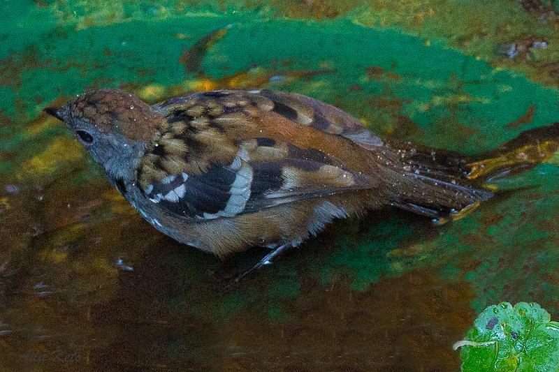 Australian Logrunner, male