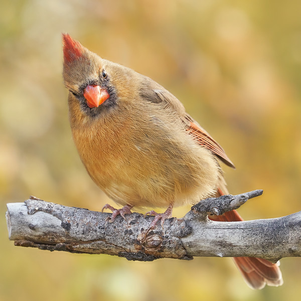 Female Cardinal is not impressed