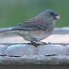 Sweet Little Junco