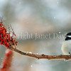 Poecile atricapillus – Black capped chickadee on sumac fruit 4