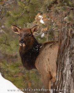 elk13