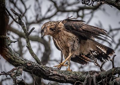 Great Black Hawk walking branch