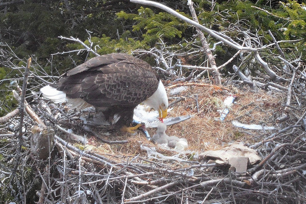 Bald Eagle feeding chicks