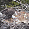 Bald Eagle feeding chicks