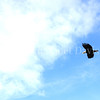 Haliaeetus leucocephalus – Bald eagle flying 2