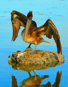 Juvenile Brown Pelican looks at his reflection.