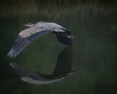 Great Blue Heron perfect reflection (juvenile) intense