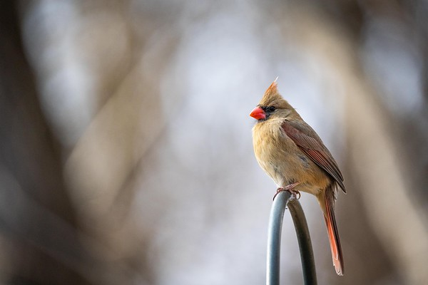 Female Northern Cardinal at Nottoway Park