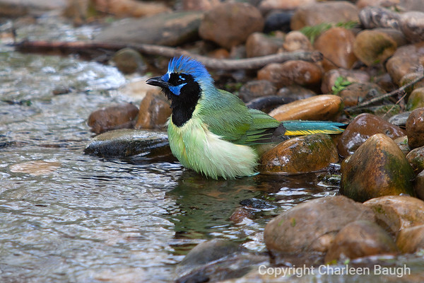 Green Jay Bath MG9867-1272008