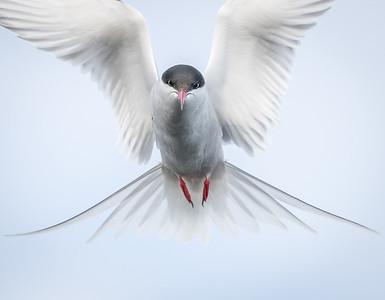 Angel Bird - Arctic Tern, Mývatn, Iceland