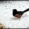 Spotted Towhee ~ Pipilo maculatus