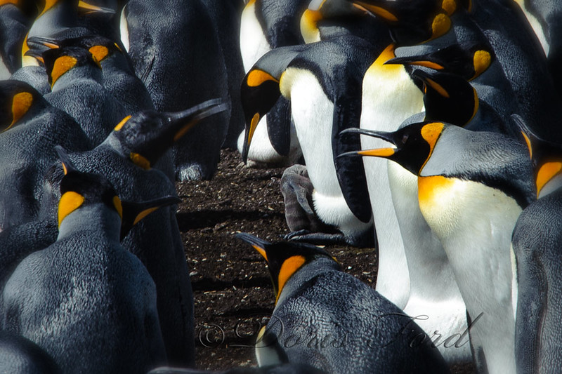 King Penguins and their Babies