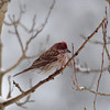 Red Poll Finch