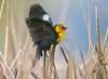 Yellow Backbird.